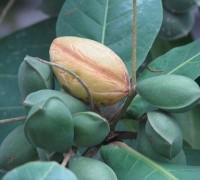 Cây bàng,bàng,Terminalia catappa,họ trâm bầu,Combretaceae,cây bóng mát,cây trường học,Cây bàng