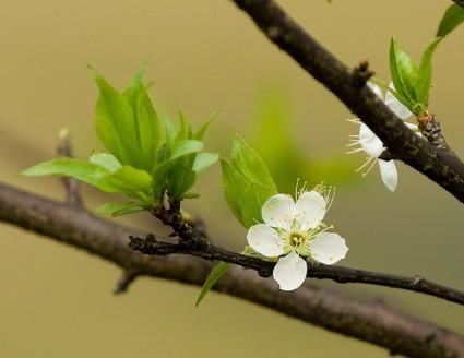 Cây mơ,mơ ta,mơ Đông Á,mơ mai,cây mai,mận mơ,cây mai,hoa mơ,hoa mai,mơ Nhật Bản,Prunus mume,Prunus,họ hoa hồng,Rosaceae,các giống mơ,công dụng của mơ,rượu mơ,nước mơ,tác dụng y học của cây mơ,cây ăn quả,cây ngày Tết,Cây mơ