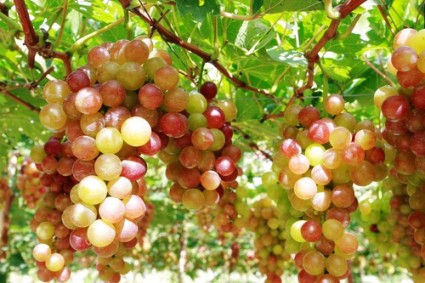 Cây nho,nho,chùm nho,quả nho,rượu nho,nho khô,rượu vang nho,nho không hạt,họ Nho,Vitaceae,cây leo,cây ăn quả,Cây Nho