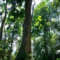 Cây gỗ Lim - Lim xanh