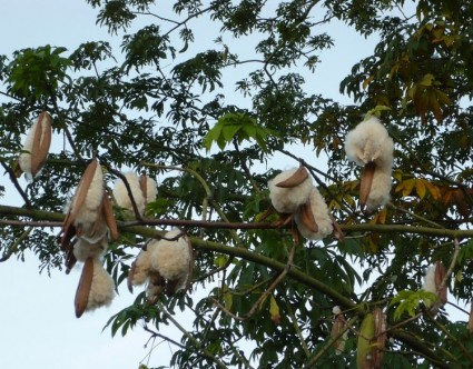 Cây bông gòn,cây gòn,bông gòn,cây bông gạo,bông gạo,cây bông lụa,cây bông Java,cát bối,cát bối miên,cát bối mộc miên,cẩm quỳ,Ceiba pentandra,Kapok tree,Kapokier,bois coton,Silk Cotton tree,Java Cotton tree,Java kapok tree,Ceiba,Malvales,Malvaceae,Ceiba pentandra guineensis,Cây bông gòn - bông gạo