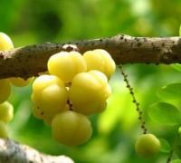 Cây chùm ruột,chùm ruột,tầm ruột,diệp hạ châu,Phyllanthus acidus,Phyllanthus distichus,Cicca disticha,Cicca acida,Averrhoa acida,Gooseberry tree,Phyllanthaceae,cây ăn quả,Chùm ruột - tầm ruột