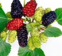 Cây dâu tằm,dâu tằm,cây dâu,cây dâu trắng,morus alba,cây ăn quả,cây dâu tằm bonsai,cây cảnh dâu tằm,tác dụng của cây dâu tằm,bài thuốc từ cây dâu tằm,Cây dâu tằm