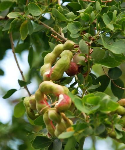 Cây me keo,me keo,me nước,cây me nước,găng tây,keo tây,pithecellobium dulce,cây ăn quả,họ đậu,fabaceae,Cây me keo - me nước