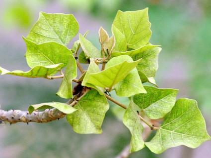 Vông đồng,cây vông đồng,cây vông,hura crepitans,hura brasiliensis wild,họ Đại kích,Euphorbiaceae,Vông đồng