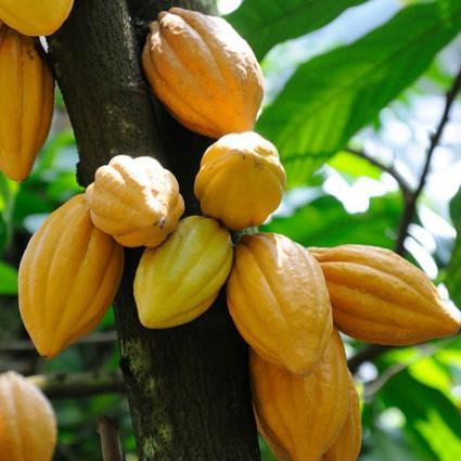Cacao,cây cacao,ca cao,cây ca cao,kakao,ka kao,cây ka kao,Theobroma cacao,họ Trôm,Sterculiaceae,Byttnerioideae,Crillo,Forastero,Trinitario,họ Cẩm quỳ,Malvaceae,cacao socola,nguyên liệu sản xuất socola,Cacao