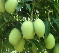 Cây xoài,xoài,cây sài,mango,mango tree,Mangifera,họ đào lộn hột,Anacadiaceae,cây ăn quả,cây bóng mát,bài thuốc từ cây xoài,cây xoài chữa bệnh,Cây Xoài