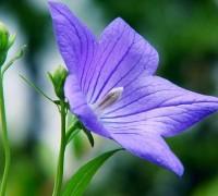 Hoa cát cánh,cát cánh,kết cánh,ý nghĩa hoa cát cánh,Platycodon grandiflorum,Platycodon grandiflorus,họ hoa chuông,hoa đẹp,Hoa cát cánh