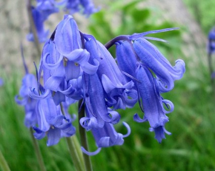 Hoa chuông xanh,hoa chuông,Bluebells,Hyacinthoides,họ Măng tây,Asparagaceae,hoa đẹp,Hoa chuông xanh