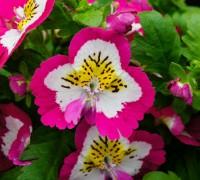 Hoa nga điệp,hoa đẹp,hoa Đà Lạt,Schizanthus,Hoa nga điệp