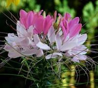 Hoa túy điệp,túy điệp,hoa đẹp,hoa Đà Lạt,Cleome spinosa,Hoa túy điệp