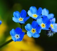 Hoa lưu ly,lưu ly,cây mồ hôi,Myosotis,Boraginaceae,Borago officinalis,họ vòi voi,Heliotropium indicum,truyền thuyết hoa lưu ly,Hoa lưu ly