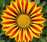 Hoa cúc Gazania,hoa cúc Gaza,cúc châu Mỹ,Gazania,hoa cúc,hoa đẹp,Hoa cúc Gazania (cúc châu Mỹ)
