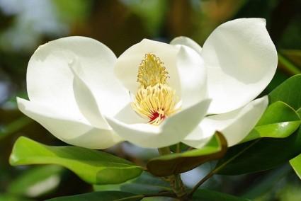 Hoa mộc lan trắng,hoa mộc lan,cây mộc lan,ý nghĩa hoa mộc lan,hoa mộc lan hồng,hoa mộc lan xanh,Magnolia grandiflora,Magnoliaceae,Magnoliales,Hoa mộc lan