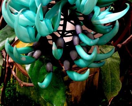 Cây móng cọp,móng cọp,dây hoa cẩm thạch,cây leo ngọc bích,móng cjp xanh,móng cọp đỏ,móng cọp vàng,Strongylodon macrobotrys,Mucuna Bennetti,Thunbergia mysorensis,Jade Vine,họ đậu,Fabaceae,Cây móng cọp