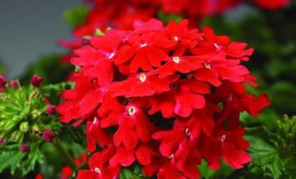 Hoa vân anh,hoa đẹp,ý nghĩa hoa vân anh,Hoa Vân Anh