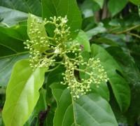 Vọng cách,cây cách,cây cách biển,Premna serratifolia,họ hoa môi,cây chữa bệnh,nhất tường vi nhì vọng cách,Vọng cách