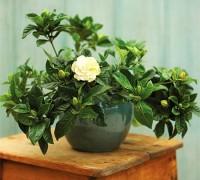 Cây dành dành,dành dành,chi tử,thuỷ hoàng chi,mác làng cương,Gardenia jasminoides Ellis,G. augusta,công dụng của cây dành dành,bài thuốc từ cây dành dành,Cây dành dành