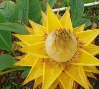 Chuối tài lộc,chuối cảnh,cây chuối,cây phong thủy,cây may mắn,cây ngày Tết,chuối hoa lan Lowiaceae,Chuối tài lộc