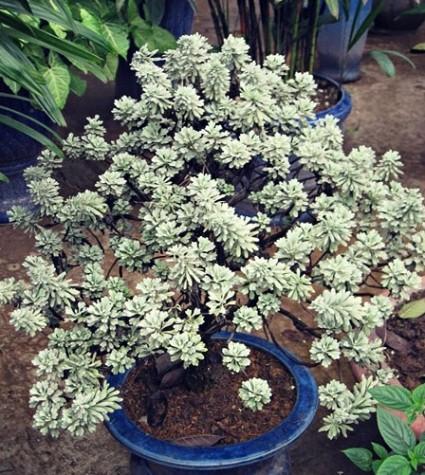 Hoa cúc mốc,cúc mốc,hoa cúc,cúc bạch,nguyệt bạch,bạch phù dung,crossostephium chinense,graphalium spp,Hoa Cúc Mốc