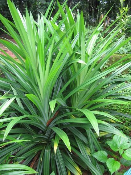 Cây lá dứa,dứa thơm,cây dứa thơm,cây nếp thơm,cây cơm nếp,Pandanus amaryllifolius,dứa dại,Pandanaceae,tác dụng của cây lá dứa,Cây lá dứa (dứa thơm,nếp thơm,cây cơm nếp)