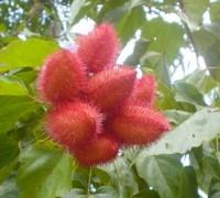 Điều nhuộm,cây điều nhuộm,điều màu,cà ri,Bixa orellana,Bixaceae,cây làm thuốc,Điều nhuộm