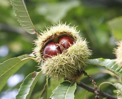 Dẻ thơm,cây dẻ,hạt dẻ,cây hạt dẻ,dẻ trùng khánh,dẻ gai,dẻ gai vàng,dẻ cau,dẻ ngựa,chestnut,Castanea sativa,họ dẻ,họ cử,Fagaceae,cây lất hạt,các loại cây hạt dẻ,cây hạt dẻ của 100 kỵ sĩ,cây hạt dẻ lớn nhất thế giới,cây hạt dẻ lâu năm nhất thế giới,cây hạt dẻ nhiều tuổi nhất thế giới,Dẻ thơm (cây dẻ,hạt dẻ)