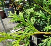 Bách xanh,cây bách,pơ mu giả,tô hạp bách,Calocedrus macrolepis,Bách xanh