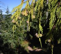 Bách Nootka,cây bách,Callitropsis nootkatensis,Cupressus nootkatensis,Xanthocyparis nootkatensis hay Chamaecyparis nootkatensis,họ Hoàng đàn,Cupressaceae,Bách Nootka