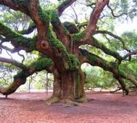 Cây sồi,sồi,cây sồi thần tiên,cây sồi tiên,Quercus,Cây sồi