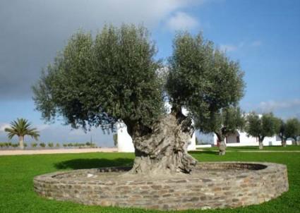 Ô liu,cây ô liu,oliu,olive,Olea europaea,họ Ô liu,Oleaceae,cây ô liu Vouves,Ô liu
