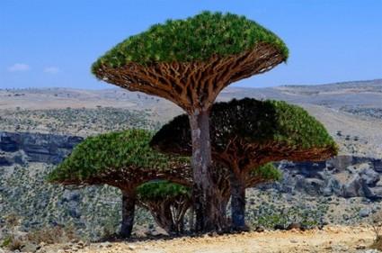 Cây máu rồng,máu rồng,cây Long Huyết,Dracaena Cinnabari,Dragon Blood Tree,Dam al-Akhawain,Cây Máu rồng