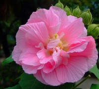 Hoa phù dung,phù dung,cây phù dung,phù dung thân mộc,mộc phù dung,địa phù dung,phù dung núi,hoa phù dung,mộc liên,túy phù dung,cây hoa,họ cẩm quỳ,Malvaceae,Hoa phù dung
