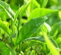 Cây trà,cây chè,Camellia sinensis,trà xanh,trà ô long,trà đen,chè Thái Nguyên,chè Phú Thọ,chè Hòa Bình,chè Tân Cương Thái Nguyên,Cây chè (trà,trà xanh)