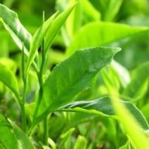 Cây chè (trà,trà xanh)