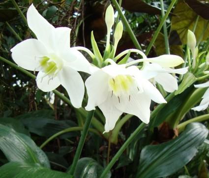 Hoa ngọc trâm,ngọc trâm,Amazon Lily,cây hoa đẹp,Hoa ngọc trâm