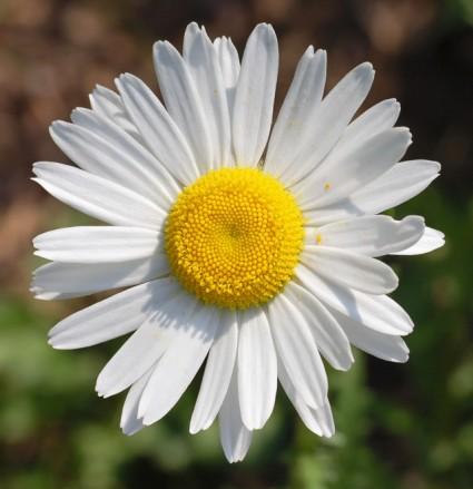 Hoa cúc họa mi,cúc họa mi,hoa cúc,Asteraceae,tùng cúc trúc mai,truyền thuyết hoa cúc,Hoa cúc Họa mi
