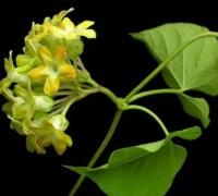 Hoa thiên lý,Telosma cordata,pakalana,Tonkin creeper,dạ lý hương,dạ lài hương,bài thuốc từ hoa thiên lý,chuyện kể về hoa thiên lý,Hoa thiên lý