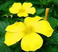 Đông hầu vàng,hoa dừa vàng,Turnera ulmifolia,họ lạc tiên,Đông hầu vàng (dừa vàng)
