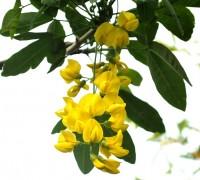 Cây chuỗi vàng,cay chuoi vang,cây kim tước,chuỗi vàng,Golden Chain,Golden Chain Flowers,Kingusari,Laburnum,họ đậu,Fabaceae,Chuỗi vàng (Kim tước)