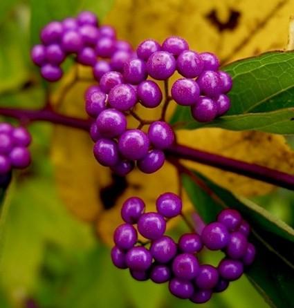 Tử châu,tử châu lá nhỏ,cây thuốc ké,Callicarpa dichotoma,cỏ roi ngựa,Verbenaceae,họ hoa môi,Lamiaceae,chi tử châu,chi nàng nàng,chi tu hú,Callicarpa,Tử Châu và Tử Châu lá nhỏ