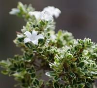 Bạch tuyết mai,mã thiên hương,hoa ngàn sao,bạch đinh hoa,hương thiên mộc,cây bỏng nẻ,Serissa foetida,Serissa japonica Thunb,họ Thiến thảo,Rubiaceae,cây bụi,Bạch tuyết mai