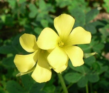 Chua me đất hoa vàng,chua me đất,cây me đất,me chua đất,me đất nhỏ,me chua đất hoa vàng,Oxalis corniculata,Chua me đất hoa vàng