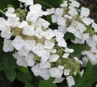 Cẩm tú cầu lá sồi,cam tu cau la soi,hoa cẩm tú cầu,họ cẩm tú cầu,Hydrangea quercifolia,Cẩm tú cầu lá sồi