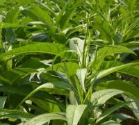 Thuốc lào,Nicotiana rustica,chi thuốc lá,Nicotiana,tác hại của thuốc lào,hút thuốc lào,Thuốc lào