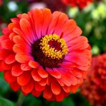 Hoa cúc lá nhám, cúc ngũ sắc (Zinnia)