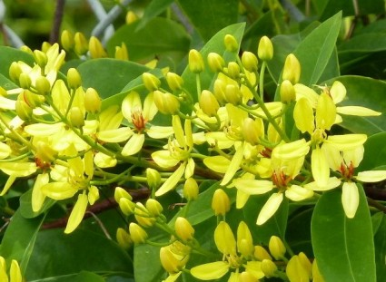 Mai hoàng yến,mai hoang yen,dây Kim đồng,Tristellateia australasiae,họ Sơ ri,họ Kim đồng, họ Dùi đục,Malpighiaceae,Mai hoàng yến (dây kim đồng,hoa ghen)