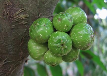 Cây ngái,sung ngái,tầm gửi cây ngái,Ficus hispida,Ficus,họ dâu tằm,họ Dâu tằm,Moraceae,cây làm thuốc,tác dụng của cây ngái,Cây Ngái