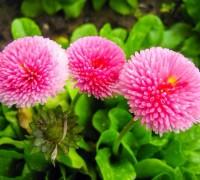 Hoa cúc Bellis Perennis,Bellis Perennis,hoa cúc,họ Cúc,Asteraceae,Compositae,hoa cúc daisy,daisy,Hoa cúc Bellis Perennis