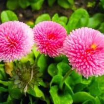 Hoa cúc Bellis Perennis